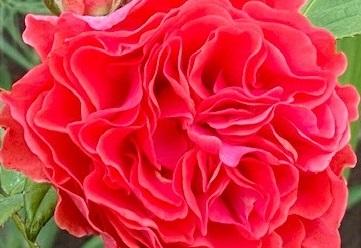 les_rose_closeup